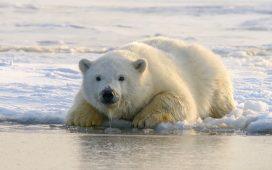 Urșii polari, pe cale de dispariție până la sfârșitul acestui secol! Explicația cercetătorilor   DeStiut.ro