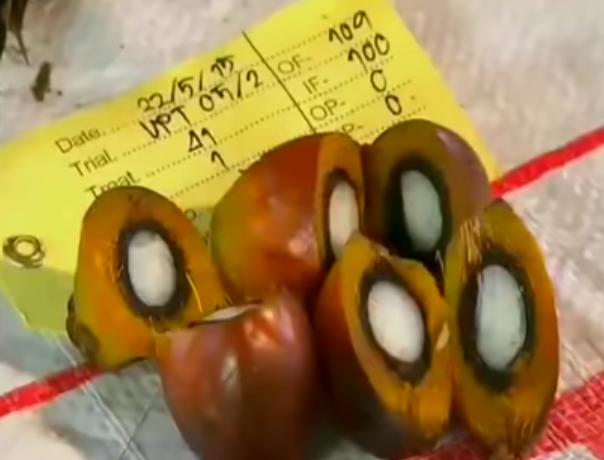"""""""Uleiul de palmier este darul lui Dumnezeu"""", susține Malaezia, în timp ce combate criticile cu un nou slogan"""