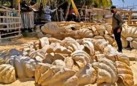 Captură record în Filipine. Scoici gigantice în valoare de 25 de milioane de dolari, confiscate!
