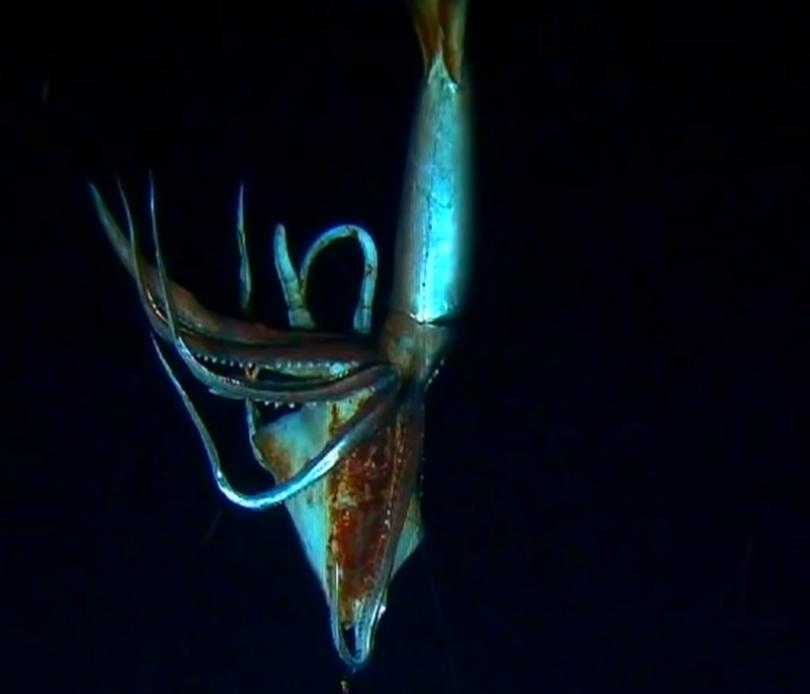 Calamarul uriaș, cel mai mare nevertebral de pe Pamânt, care ajunge până la 17 metri lungime